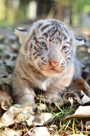 tigre bebe: bebé tigre blanco en el zoo