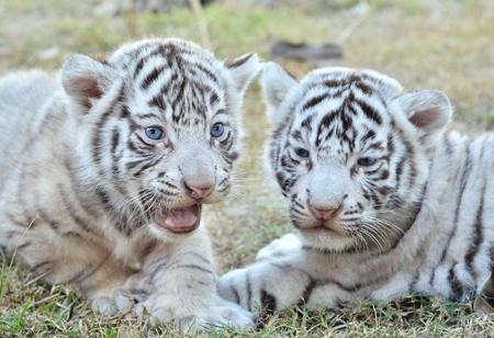 Бенгалия: малыш белый тигр в зоопарке