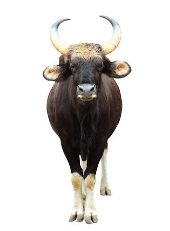 gaur in chiang mai night safari