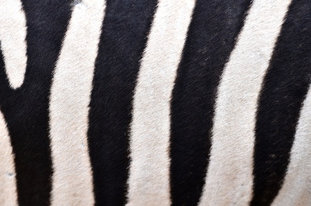 Patterning of skin of Plains Zebra photo