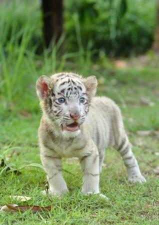 tigre bebe: bebé tigre de Bengala blanco de pie sobre la hierba verde