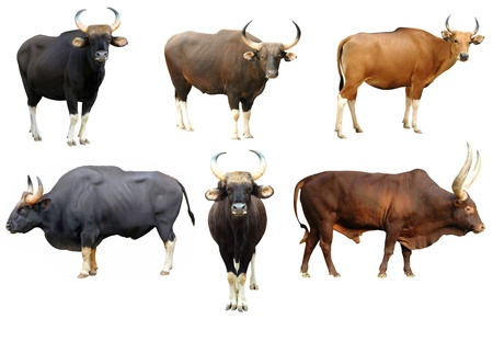 gaur and banteng and watusi collection isolated on white background photo