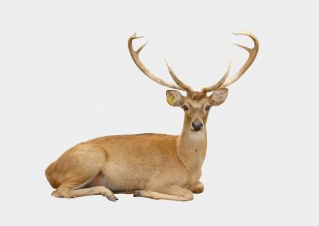 buck: eld deer isolated on white background Stock Photo