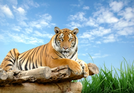 bengal tiger with blue sky Stock Photo