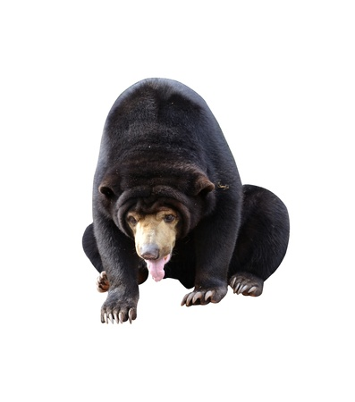 indo china: malayan sun bear isolated on white background