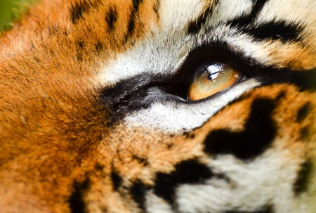 yellow tigers: close up of tiger eye Stock Photo