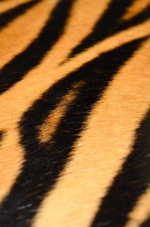 texture of real tiger skin ( fur ) photo