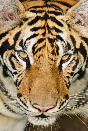 yellow tigers: close up of tiger face Stock Photo