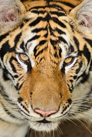 panthera: Primo piano del volto della tigre