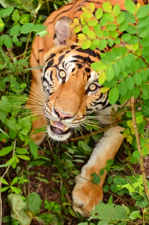 eyes hidden: bengal tiger in forest