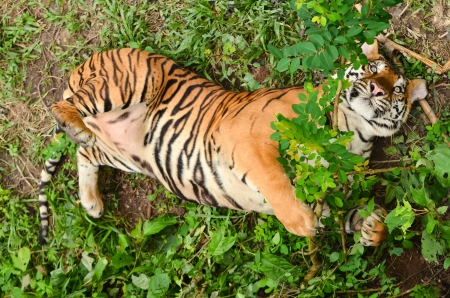 relax behavior of bangal tiger Stock Photo - 14677595