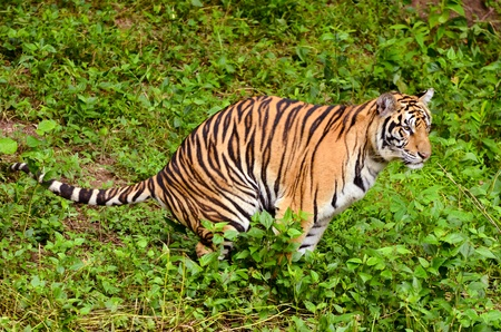 feces: bengal tiger feces in the forest