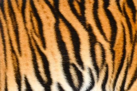 textuur van echte tijger huid bont