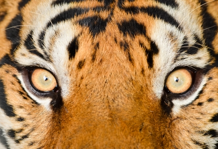 close up eyes: close up of tiger eye Stock Photo
