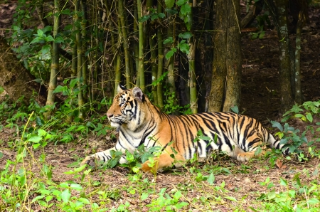 panthera tigris: bengal tiger resting in the forest