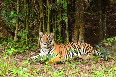 wild asia: bengal tiger resting in the forest