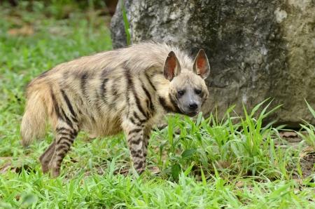 se trata de una hiena rayada Foto de archivo - 14784441