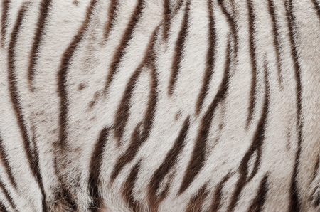 tiger hunting: textured of real white bengal tiger fur