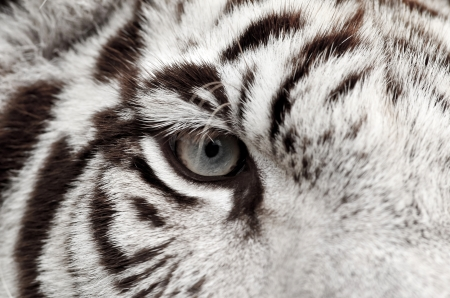 close up of white bengal tiger eye photo