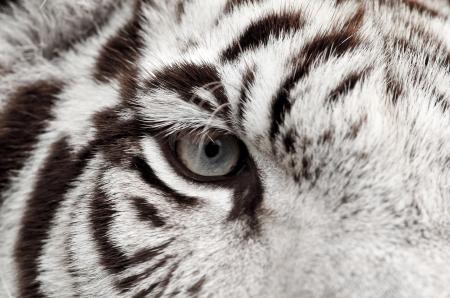 close up of white bengal tiger eye Stock Photo