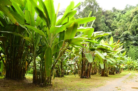 banana garden in northern thailand Stock Photo