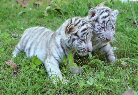 2 baby white tiger playing on grass photo