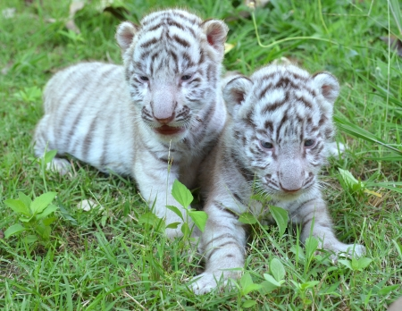 tigre cachorro: 2 bebé tigre blanco que juega en hierba Foto de archivo