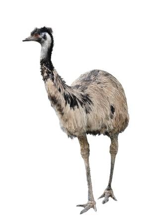 emu: un emu australiano aislado en el fondo blanco