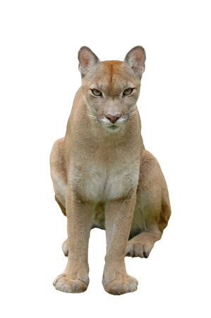 dangerous lion: puma or mountain lion isolated on white background