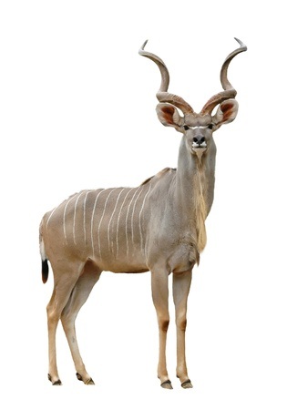 antelope: greater kudu isolated on a white background