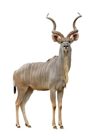 cuernos: kudu aislado en un fondo blanco Foto de archivo