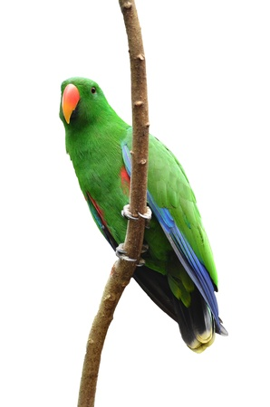 eclectus roratus: Male Eclectus Parrot isolated on white background Stock Photo