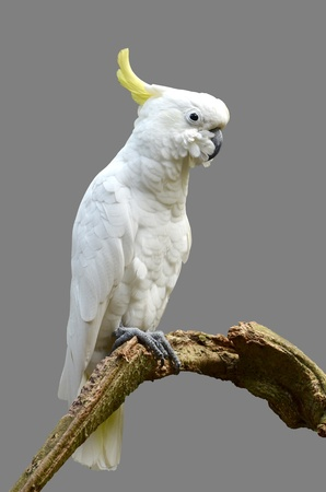 cockatoo: Sulphur-crested Cockatoo isolated on gray background