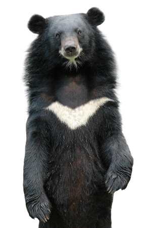 oso negro: oso negro asiático aislado en el fondo blanco