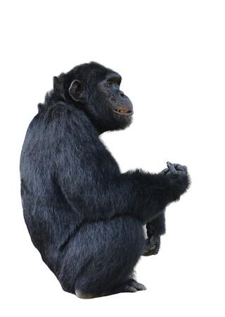 chimpanzee, simia troglodytes isolated on white background