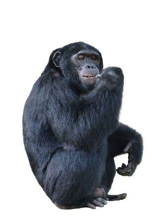 simia troglodytes: chimpanzee, simia troglodytes isolated on white background