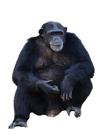 troglodytes: chimpanzee, simia troglodytes isolated on white background
