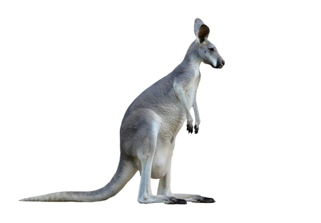 白い背景上に分離されて灰色のカンガルー 写真素材 - 18413745