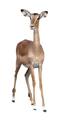 impala femmina isolato su uno sfondo bianca