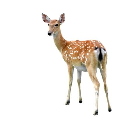 ciervo: hembra venado sika aislado sobre fondo blanco