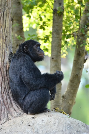 eating banana: chimpanzee eating banana Stock Photo