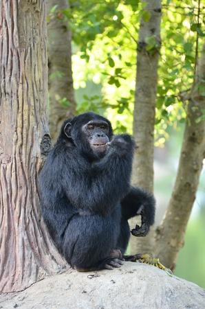 comiendo platano: chimpancé que come el plátano Foto de archivo