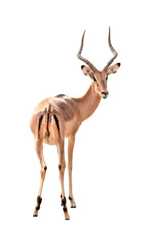 impala: adult male impala isolated on white background