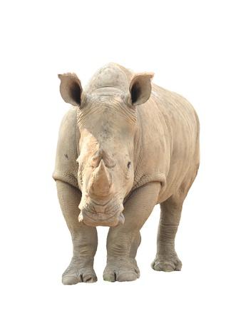 흰색 배경에 고립 된 흰 코뿔소