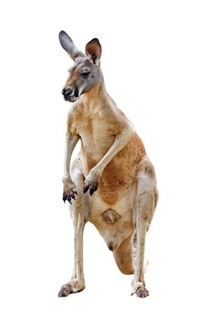 Känguru isoliert auf weißem Hintergrund Standard-Bild - 19087373