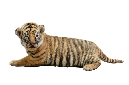 tigre cachorro: bebé tigre de Bengala aislado en fondo blanco