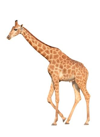 giraffa camelopardalis: giraffe isolated on white background Stock Photo