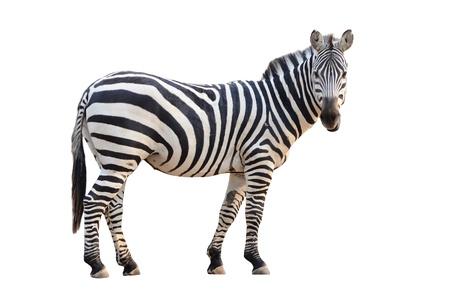 herbivorous animals: zebra isolated on white background