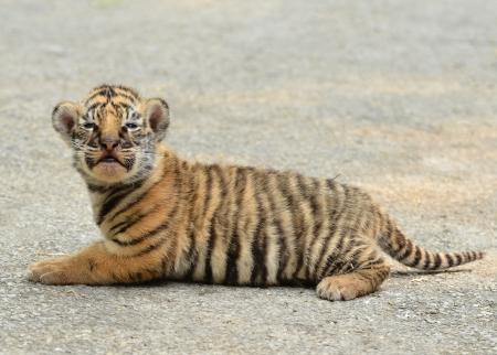 tigre cachorro: bebé tigre de Bengala en el zoológico