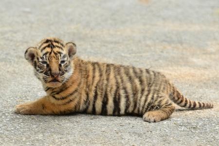 tigre bebe: beb? tigre de Bengala en el zool?gico